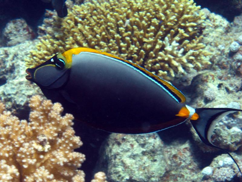 Koekop | Orangespine unicornfish | Naso elegans | Small Giftun | 28-06-2010