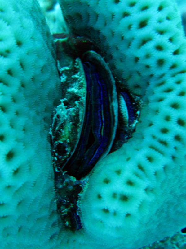 Koraal kamoester   Coral scallop   Pedum spondyloideum   Fanous Oost   20-09-2009