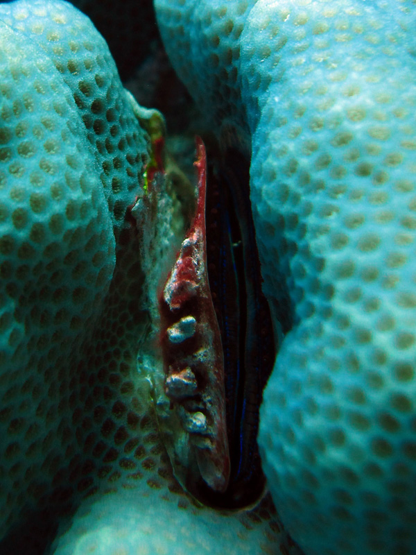 Koraalkamoester | Coral scallop | Pedum spondyloideum | Gota Abu Ramada West | 24-01-2011