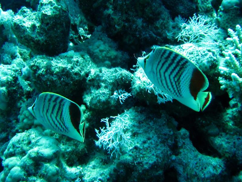 Kroonkoraalvlinder | Crown butterflyfish | Chaetodon paucifasciatus | Bananareef | 08-05-2011