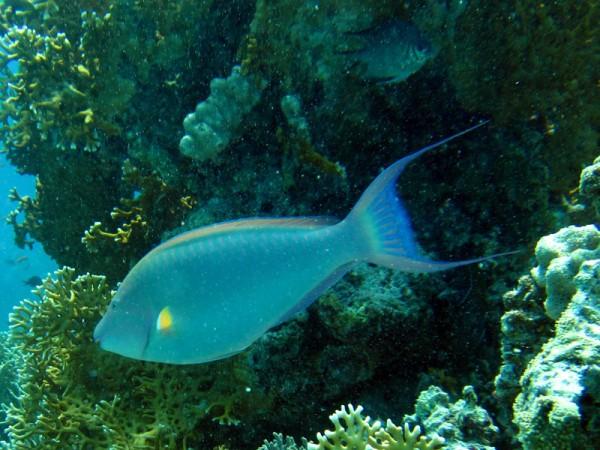 Langsnuitpapegaaivis   Indian longnose parrotfish   Hipposcarus harid   El Aruk Gigi   23-06-2010