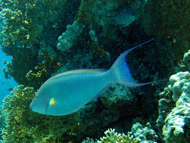 Langsnuitpapegaaivis | Indian longnose parrotfish | Hipposcarus harid | El Aruk Gigi | 23-06-2010