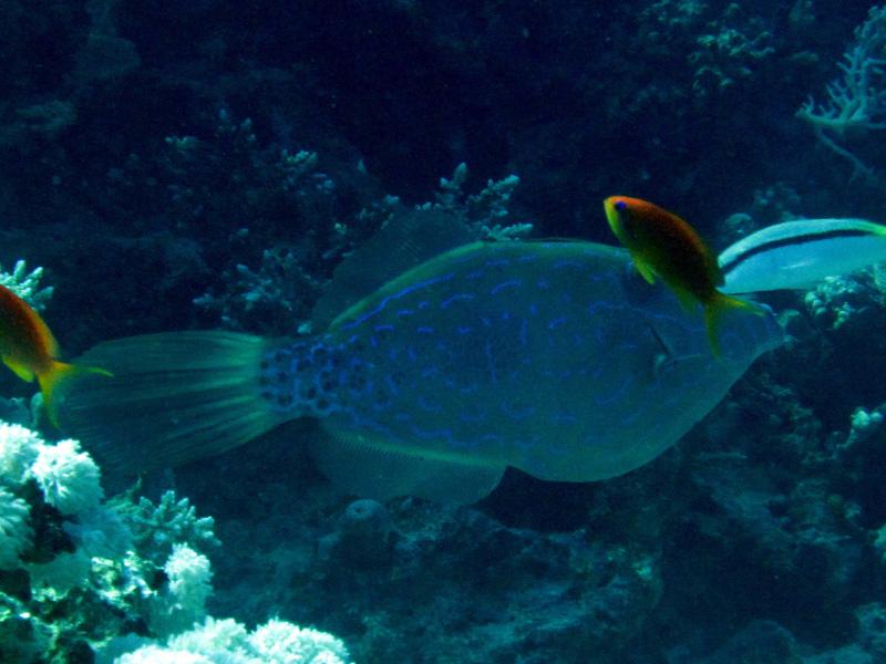 Lettervijlvis | Scrawled filefish | Aluteres scriptus | Ben el Gebel | 21-09-2009