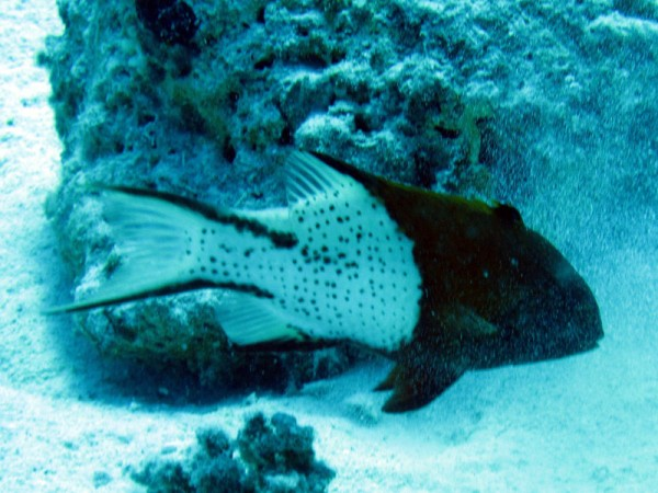 Lierstaartlipvis   Lyretail hogfish   Bodianus anthioides   Gota Abu Ramada   15-09-2009