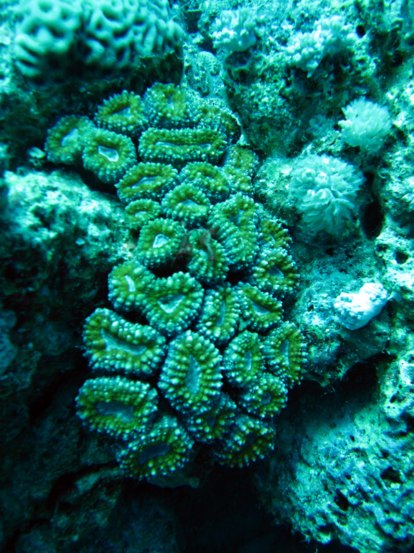 Lobbig cactuskoraal | Lobed cactus coral | Lobophyllia corymbosa | Shaab Sabina | 08-05-2011