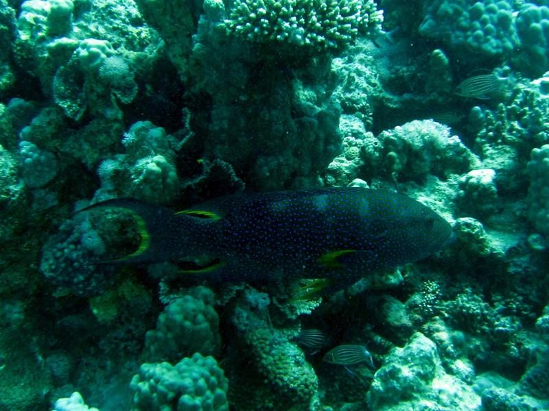 Maanstaartjuweelbaars | Lyretail grouper | Variola louti | Small Giftun | 28-06-2010