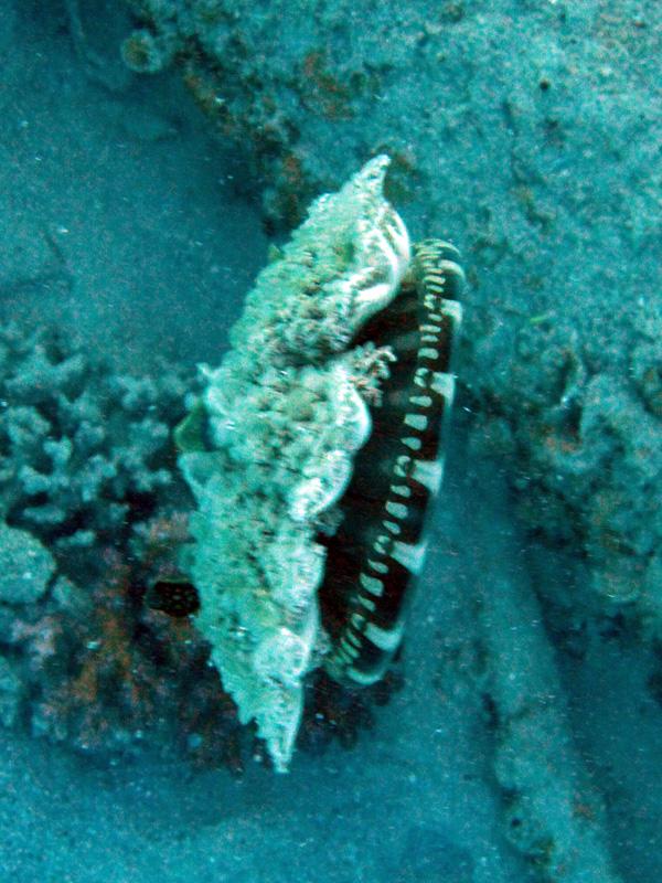 Mangrovekwal | Upside-down jellyfish | Cassiopea andromeda | Locatie: Balena | 14-09-2009