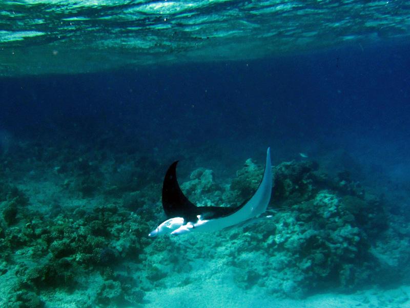 Manta | Manta ray | Manta birostris | Big Giftun | 23-01-2011