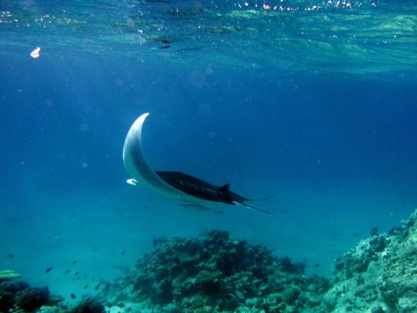 Manta & Gestreepte zuigvis   Manta ray & Sharksucker   Manta birostris &  Echeneis naucrates   Big Giftun   23-01-2011