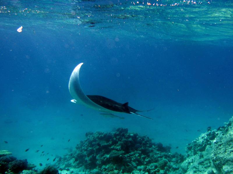 Manta & Gestreepte zuigvis | Manta ray & Sharksucker | Manta birostris & Echeneis naucrates | Big Giftun | 23-01-2011