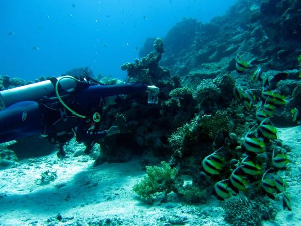 Marijn fotografeert Rode Zeewimpelvissen | Red Sea bannerfish | Heniochus intermedius | Bananareef | 25-03-2010