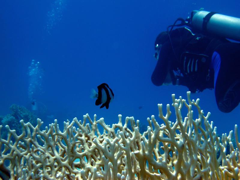 Markiezinnetje & Vertakkend vuurkoraal | Humbug dascyllus & Net fire coral | Dascyllus aruanus & Millepora dichotoma | Gota Abu Ramada Oost | 28-06-2010