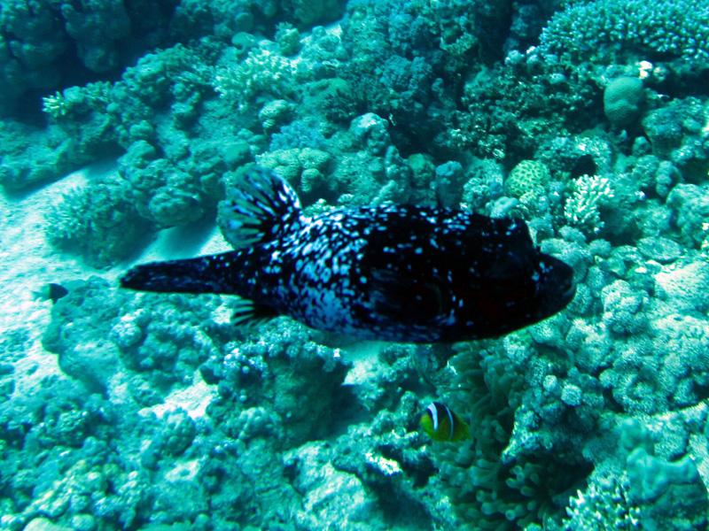 Maskerkogelvis | Masked puffer | Arothron diadematus | Erg Somaya | 25-06-2010