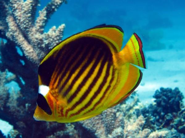 Maskerkoraalvlinder | Red Sea racoon butterflyfish | Chaetodon fasciatus | Ben el Gebel | 21-09-2009