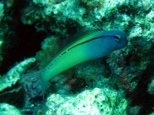 Mimicry kamtandslijmvis | Red Sea mimic blenny | Ecsenius gravieri | Fanous Oost | 20-09-2009