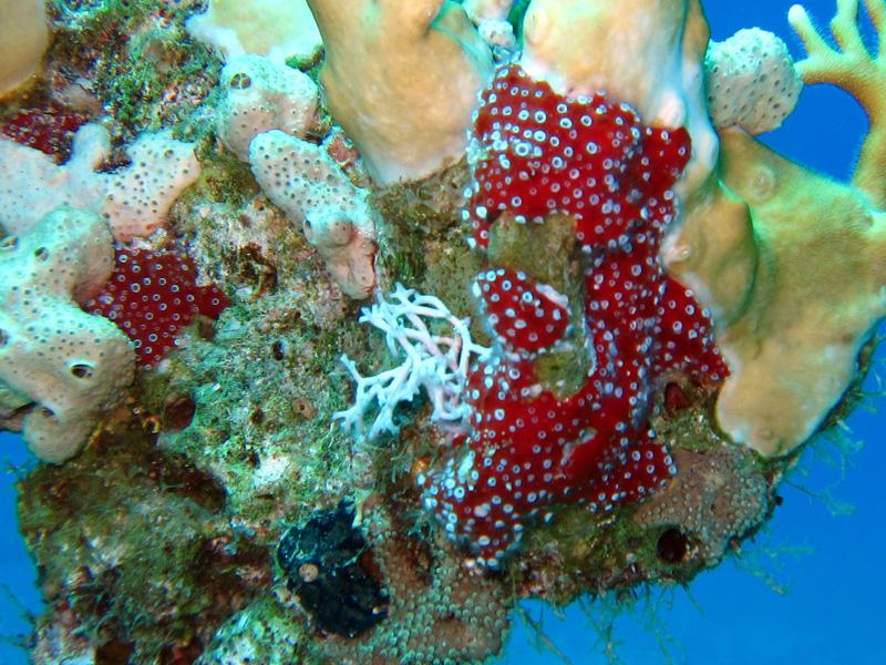 Poliepspons | Polyp sponge | Mycele fistulifera | Bananareef | 08-05-2011