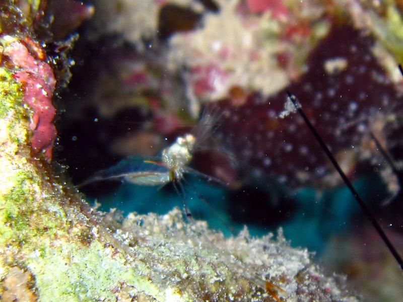 Onbekende garnaal   Unknown Shrimp   Fanadir Noord   27-06-2010