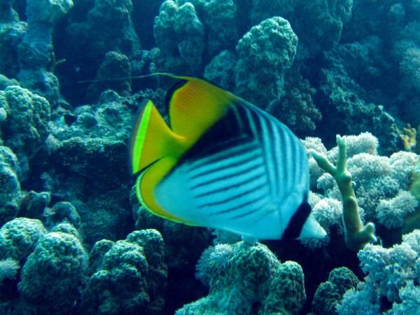 Oogvlekkoraalvlinder | Threadfin butterflyfish | Chaetodon auriga | Small Giftun | 23-09-2009