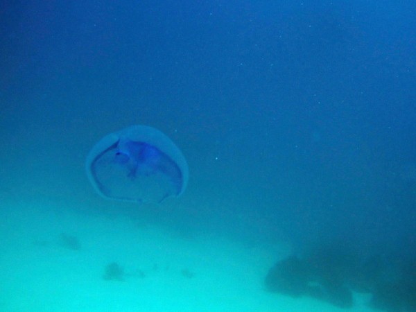 Oorkwal   Moon jellyfish   Aurelia aurita   Fanadir Garden   22-01-2011