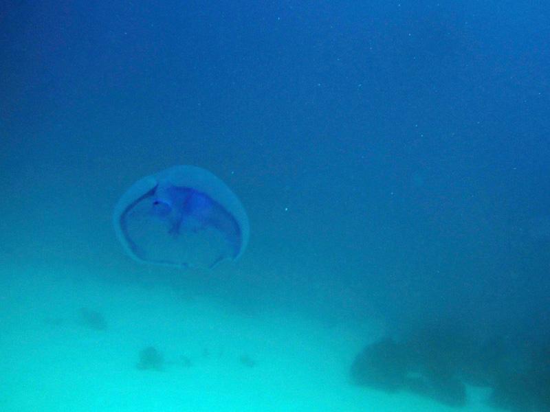 Oorkwal | Moon jellyfish | Aurelia aurita | Fanadir Garden | 22-01-2011