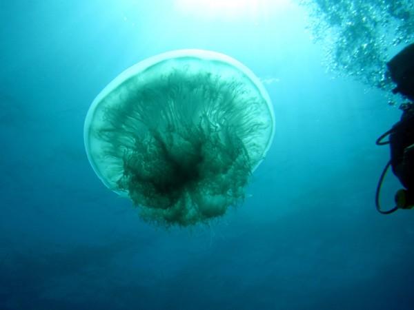 Oorkwal | Moon jellyfish | Aurelia aurita | Shaab el Erg | 20-09-2009