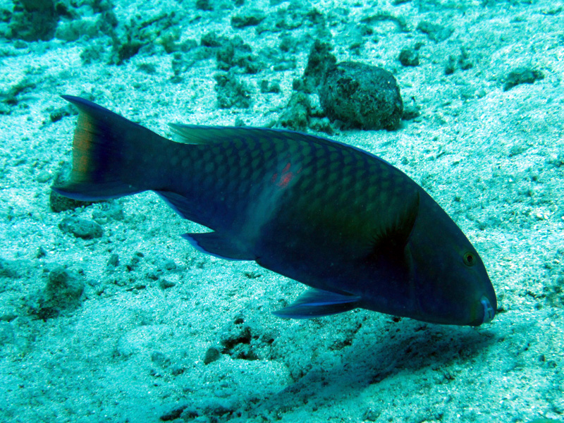 Paarsbruine papegaaivis   Purple-brown parrotfish   Scarus fuscopurpureus   Abu Ramada Zuid   22-03-2010