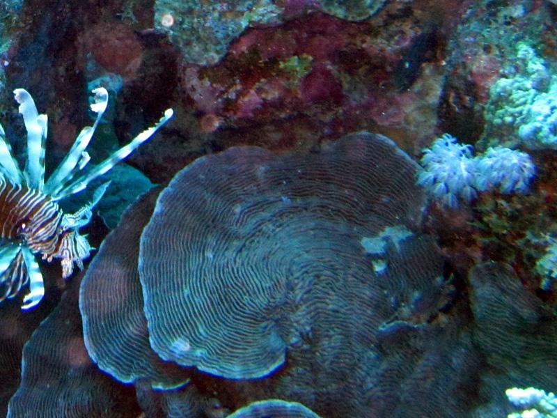 LP-koraal   Castle coral   Pachyseris speciosa   Shaab Alex   21-09-2009