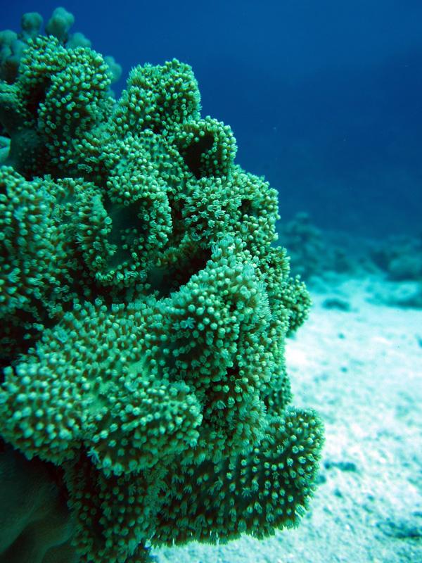 Paddenstoellederkoraal | Elephant Ear Coral | Sarcophyton trocheliophorum | Bananareef | 08-05-2011