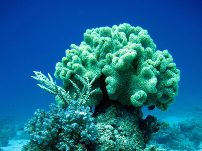Paddenstoellederkoraal | Elephant Ear Coral | sarcophyton trocheliophorum | Fanous Oost | 14-09-2009