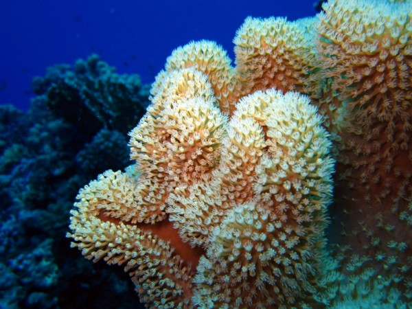 Ruw lederkoraal   Rough leather coral   Sarcophyton glaucum   Shaab Sabina   25-03-2010