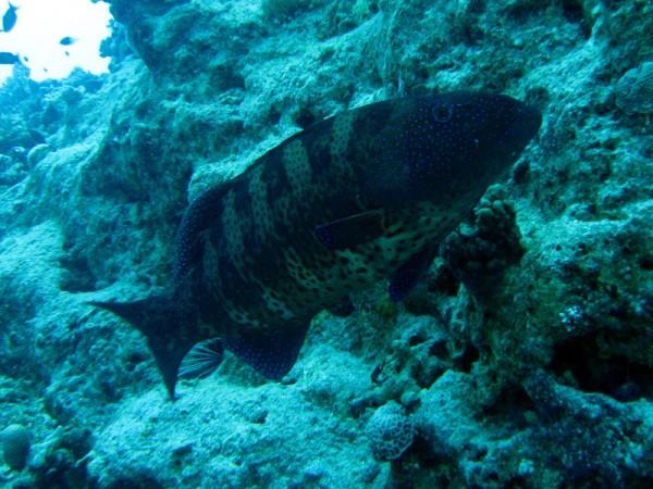 Panterforelbaars | Red Sea coralgrouper | Plectropomus pessuliferus | Bananareef | 25-03-2010