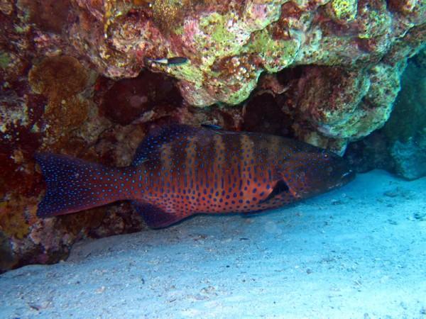 Panterforelbaars | Red Sea coralgrouper | Plectropomus pessuliferus | Gota Abu Ramada Oost | 28-06-2010
