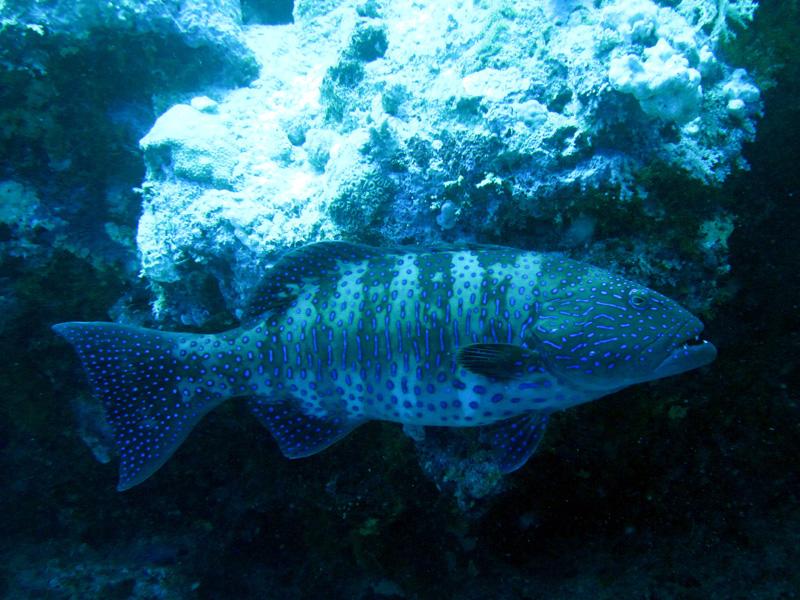 Panterforelbaars | Red Sea coralgrouper | Plectropomus pessuliferus | Small Giftun | 28-06-2010