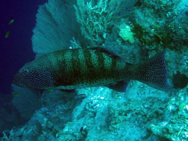 Panterforelbaars   Red Sea coralgrouper   Plectropomus pessuliferus   Small Giftun   22-03-2010