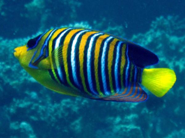 Pauwkeizervis   Regal angelfish   Pygolplites diacanthus   Abu Hashees   18-09-2009