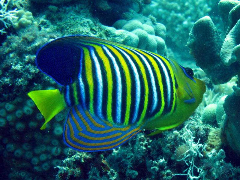 Pauwkeizervis | Regal angelfish | Pygolplites diacanthus | Fanous West | 24-06-2010
