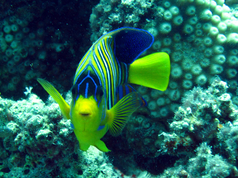 Pauwkeizervis | Regal angelfish | Pygolplites diacanthus | Fanous West | 24-06-2010