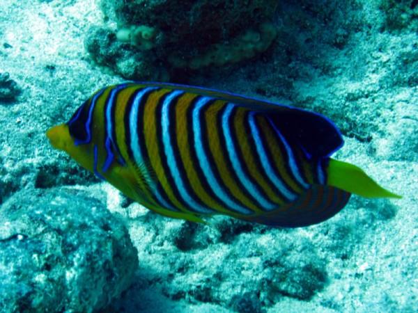 Pauwkeizervis | Regal angelfish | Pygolplites diacanthus | Gota Abu Ramada | 15-09-2009