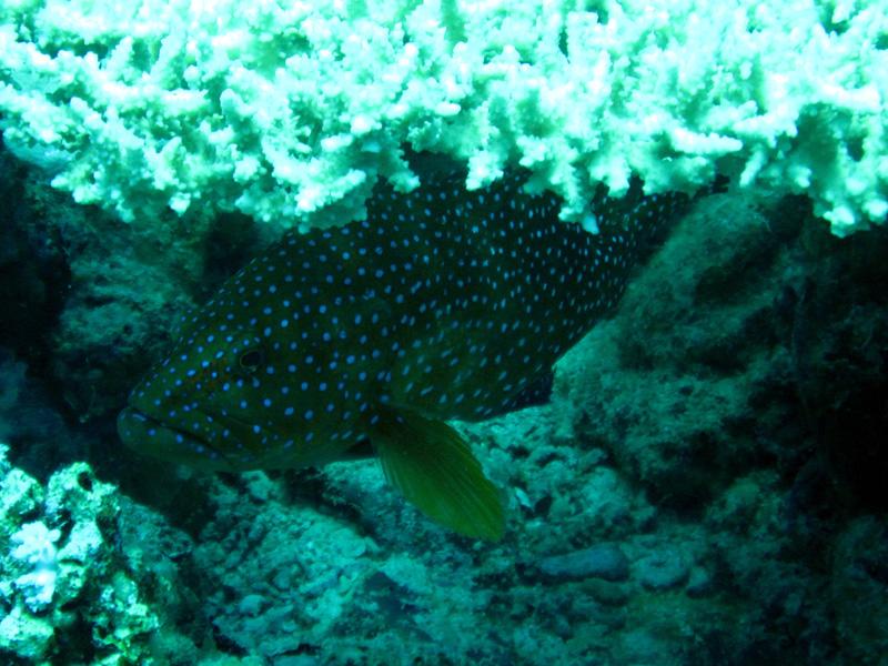 Pauwtandbaars | Peacock grouper | Cephalopholis argus | Erg Somaya | 24-03-2010