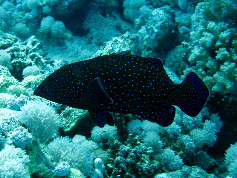 Pauwtandbaars | Peacock grouper | Cephalopholis argus | Gota Abu Ramada Oost | 28-06-2010