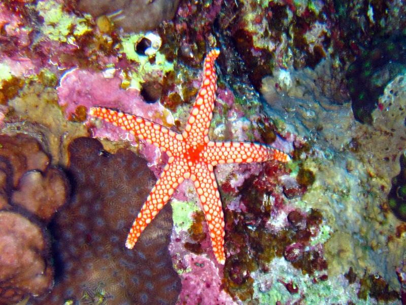Kiezelsteenzeester | Pebbled Sea Star | Celerina heffernani | Fanous Oost | 22-01-2011