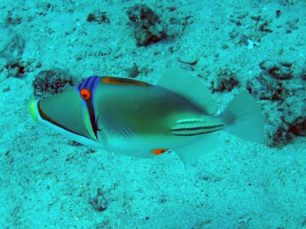 Picassotrekkervis   Picassofish   Rhinecanthus assasi   Abu Ramada Zuid   22-03-2010