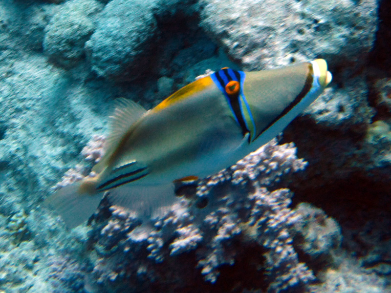 Picassotrekkervis   Picassofish   Rhinecanthus assasi   Shaab Ayman > Cave Abu Ramada   17-09-2009