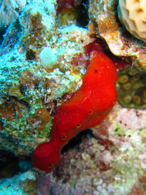 Rode boorspons | Red boring sponge | Pione vastifica | Bananareef | 08-05-2011