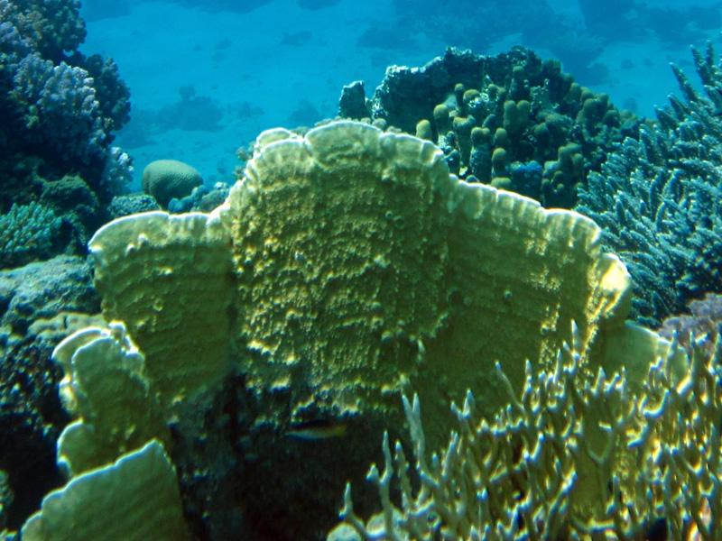 Plaatvuurkoraal   Plate fire coral   Millepora dichotoma   Shaab Sabina   23-06-2010