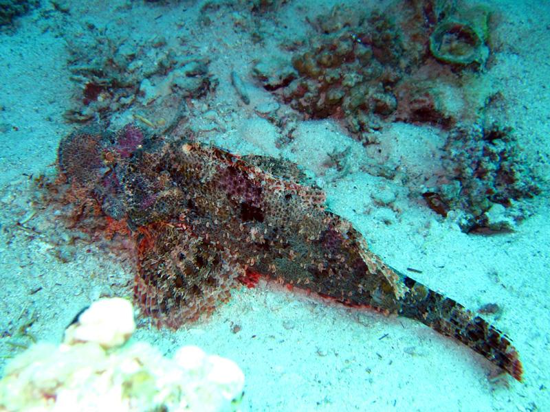 Platkopschorpioenvis | Smallscale scorpionfish | Scorpaenopsis oxycephala | Gota Abu Ramada West | 24-01-2011