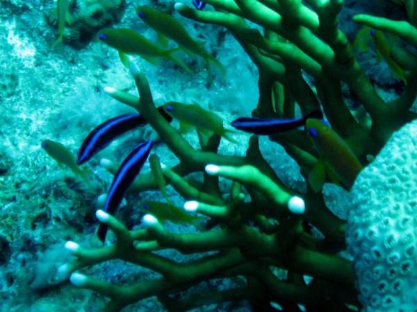 Poetslipvisjes   Bluestreak cleaner wrasse   Labroides dimidiatus   Small Giftun   22-03-2010