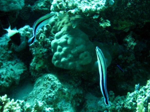 Gewone poetslipvis | Bluestreak cleaner wrasse | Labroides dimidiatus | Ben el Gebel | 21-03-2010