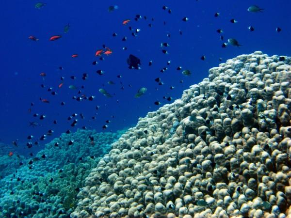 Koepelkoraal   Dome coral   Porites nodifera   Shaab Sabina   25-03-2010