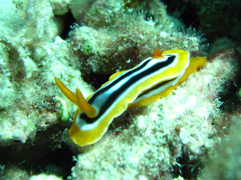 Pyjamaslak | Chromodoris quadricolor | Chromodoris quadricolor | Turtle Bay | 27-06-2010